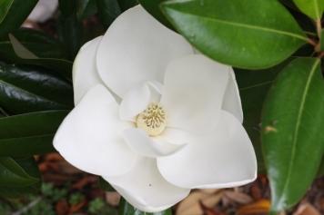 Magnolia blossom at Magnolia Cemetery
