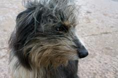 Farm dog