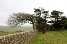 Windblown trees on the South Downs