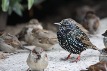 Starling and Sparrows on the National Mall