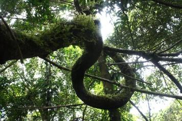 Twisted Ficus Limb