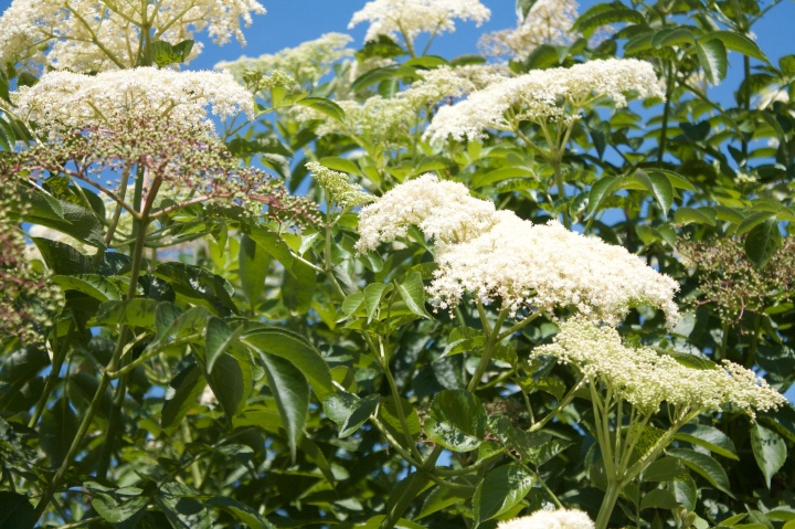 Elderberry Bush in Bloom